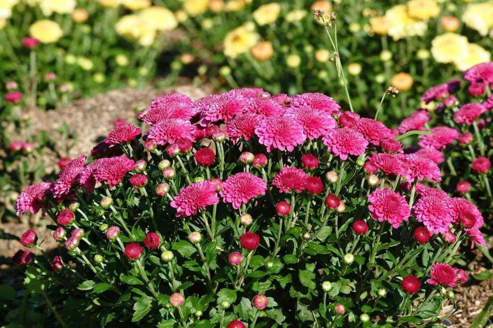 Garden News: Chrysanthemums help fill the gap _lowres