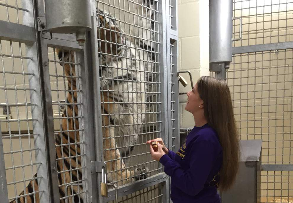 Heartbreaking discovery for Mike the Tiger's student caretaker who spotted tumor on last visit together _lowres
