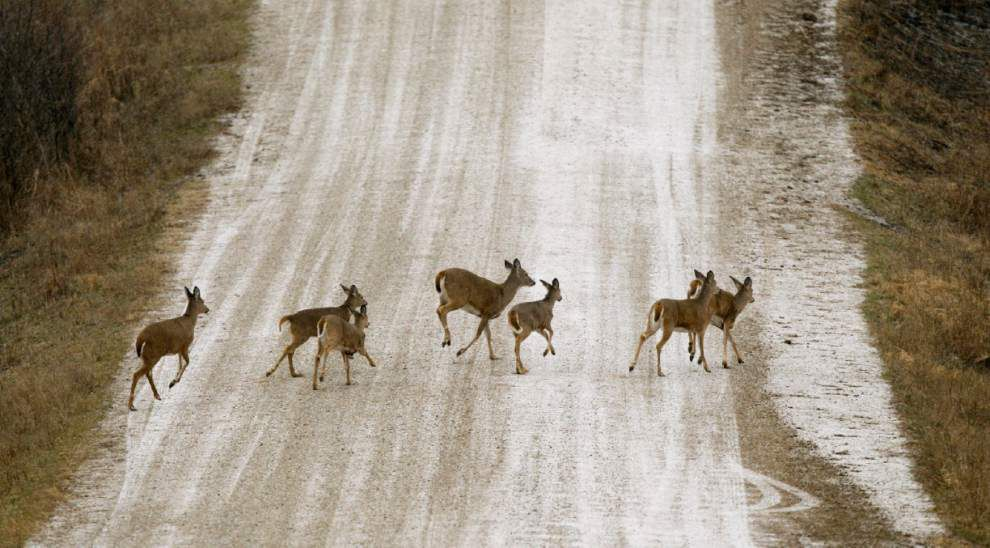 Deer are pests for airports, threats to pilots _lowres