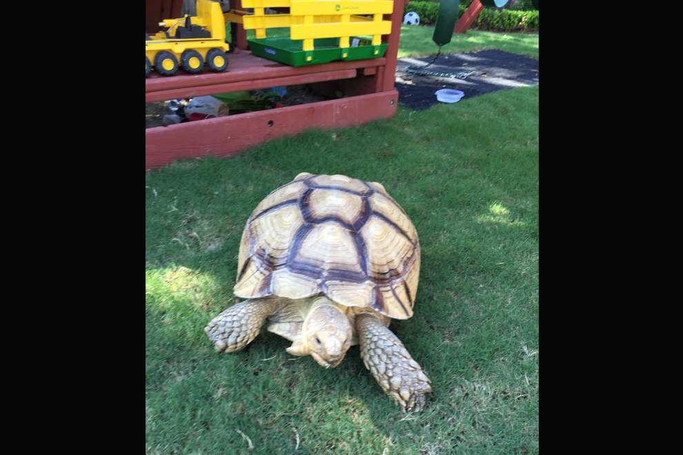 Shell-shocked? Near 100-pound, 12-year-old tortoise lost, found in Old Metairie, returned to owner _lowres
