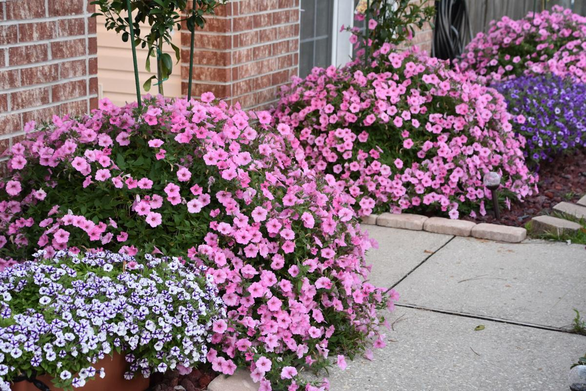 Vista Bubblegum Supertunia in 25-gallon containers (6).JPG