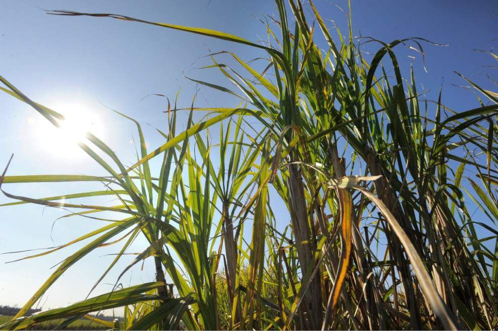 LSU AgCenter studies making plastic from sugar cane juices _lowres