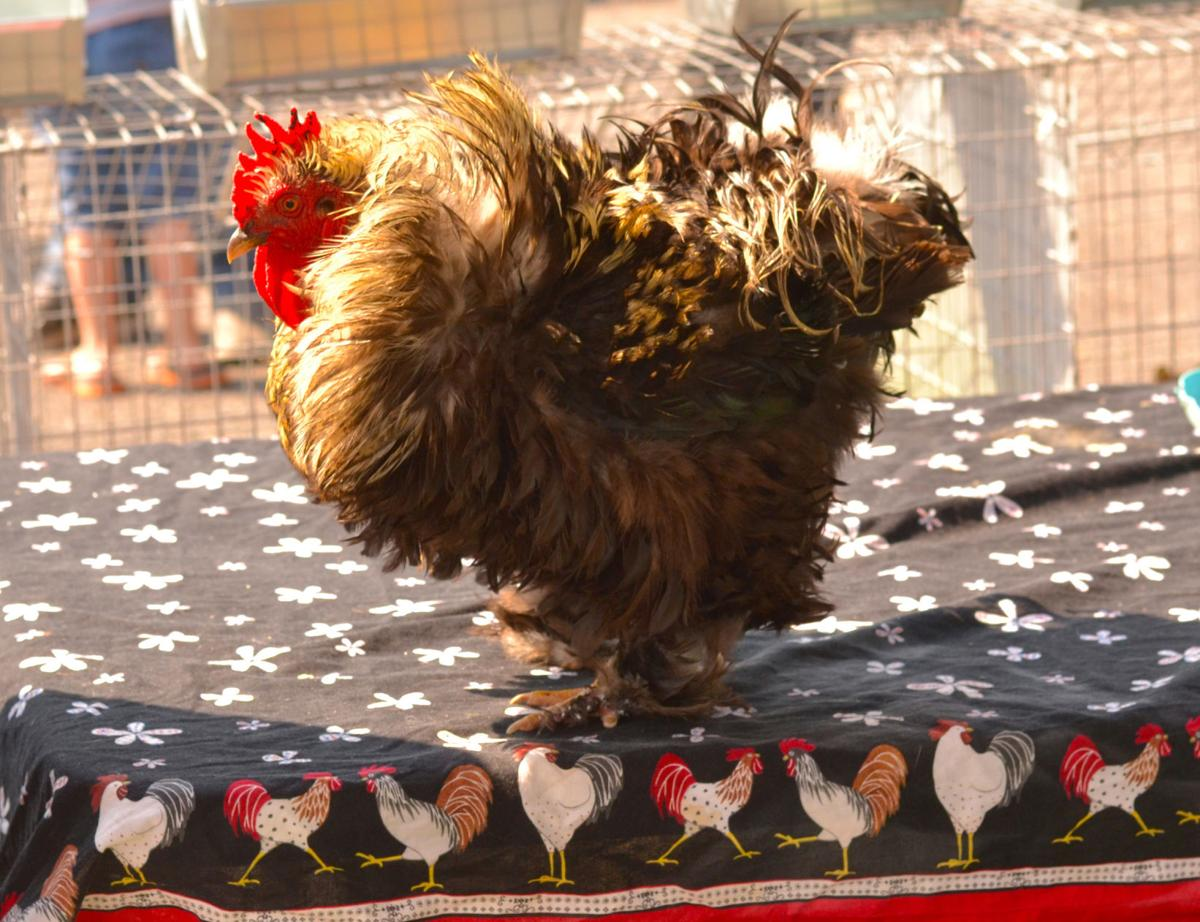 From plates to pets: Designer chickens transcend previous roles