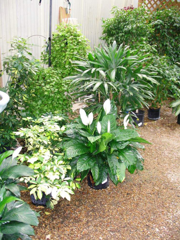 Garden news: Heads up, Baton Rouge! Cold mornings a reminder to winterize your outdoor plants _lowres