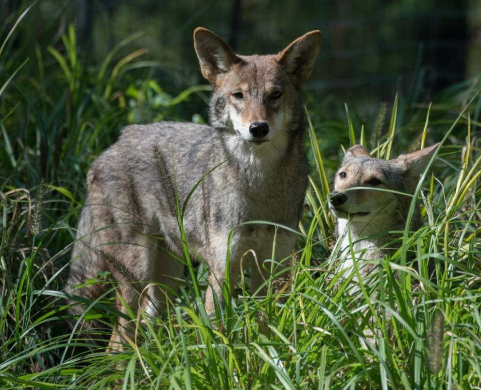 Coyote problem in upscale Stonebridge subdivision in Jefferson Parish upsets residents _lowres (copy)