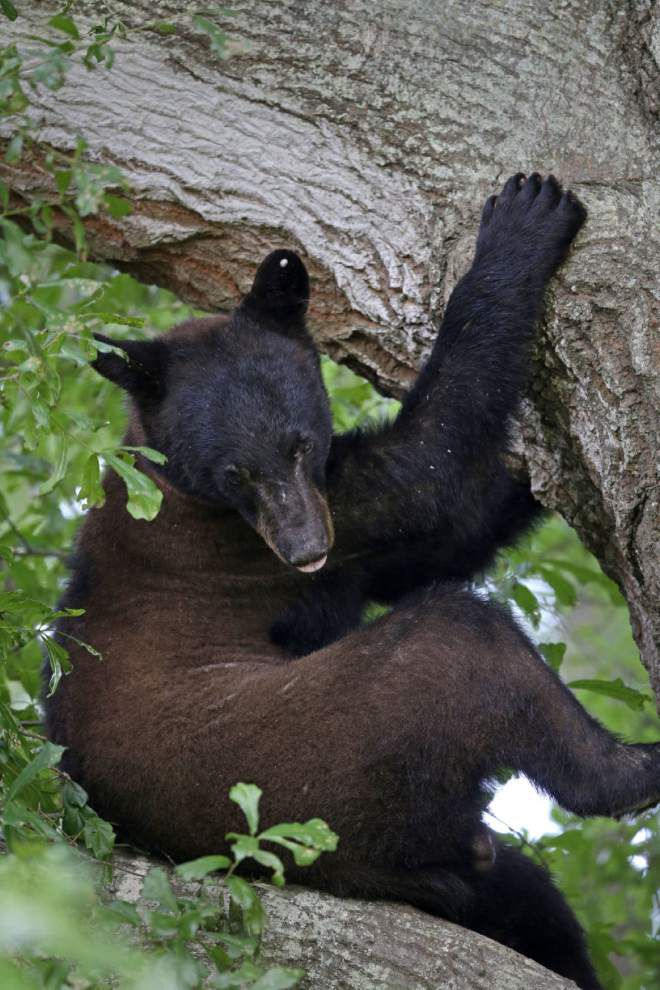 Bear makes perch in backyard _lowres