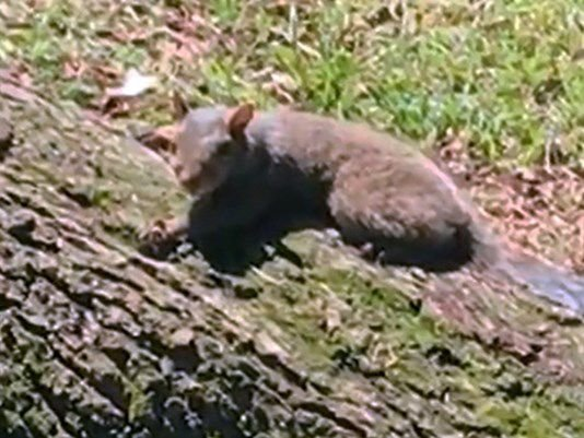 New Orleans nuisance squirrel