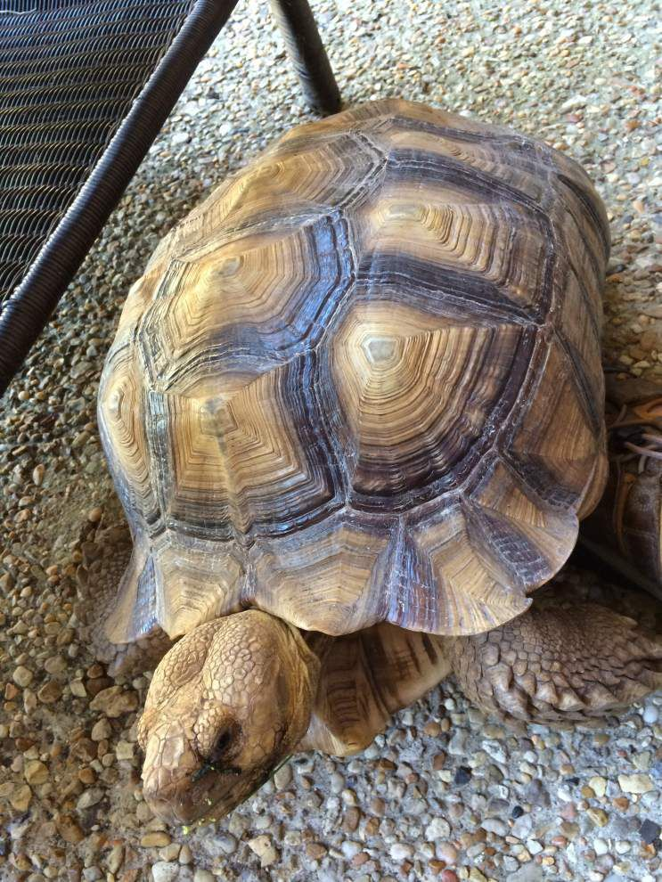 Have you seen Terry? Lumbering 16-inch desert tortoise spotted several times, briefly apprehended, but still on the run in the City Park area _lowres