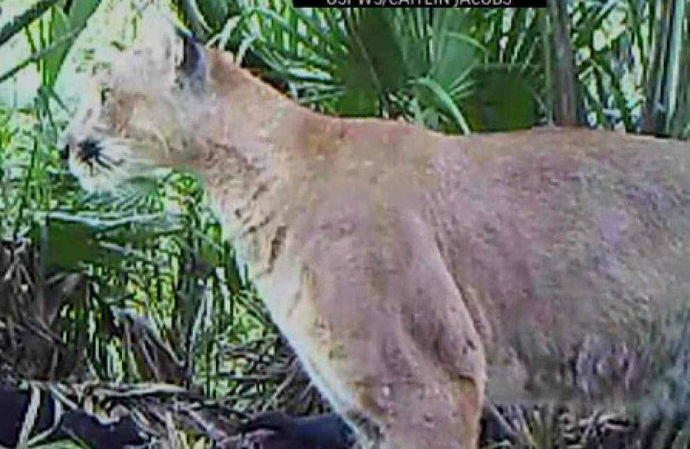 Florida panther rebound upsets ranchers _lowres