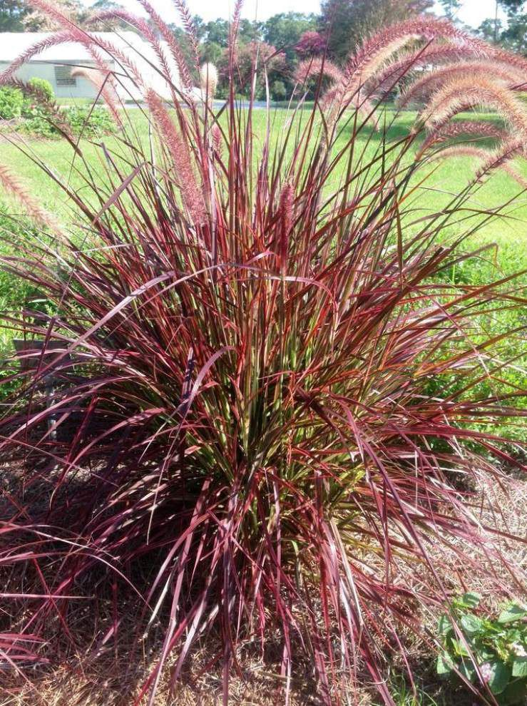Coleus, fountain grass join list of hardy super plants _lowres
