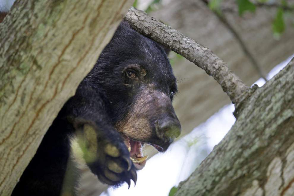 Louisiana black bear off endangered species list, but hunters shouldn't expect a season anytime soon _lowres