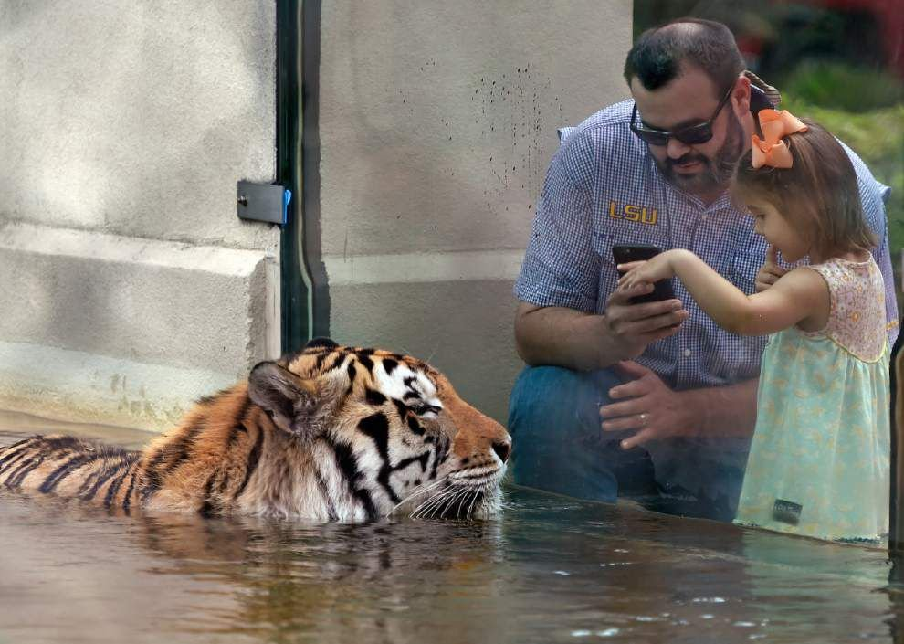 Our Views: Mike the Tiger's cancer diagnosis reminds us that all deserve compassion _lowres