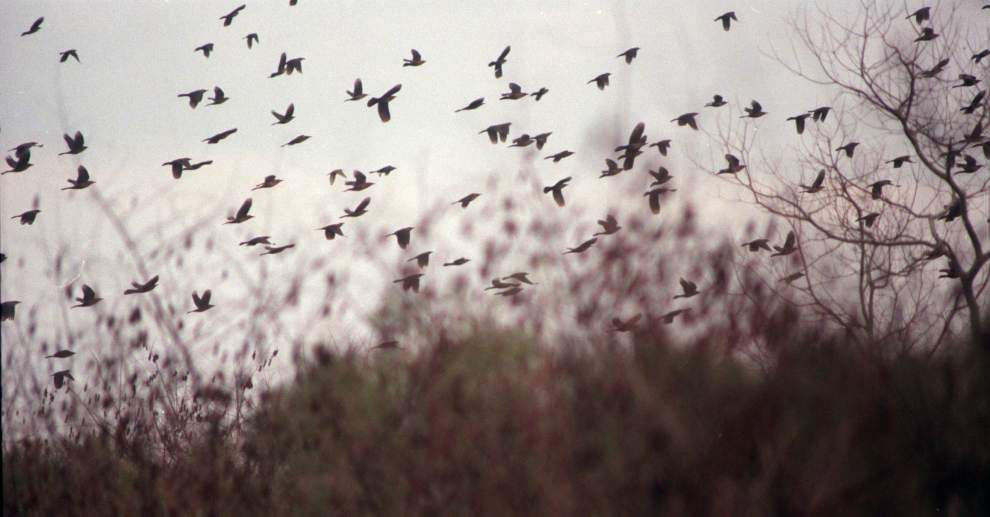 Strong survey means another liberal season for waterfowlers _lowres