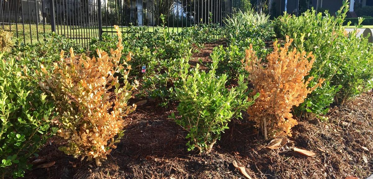 Littleleaf boxwood is susceptible to many things in early e.jpg