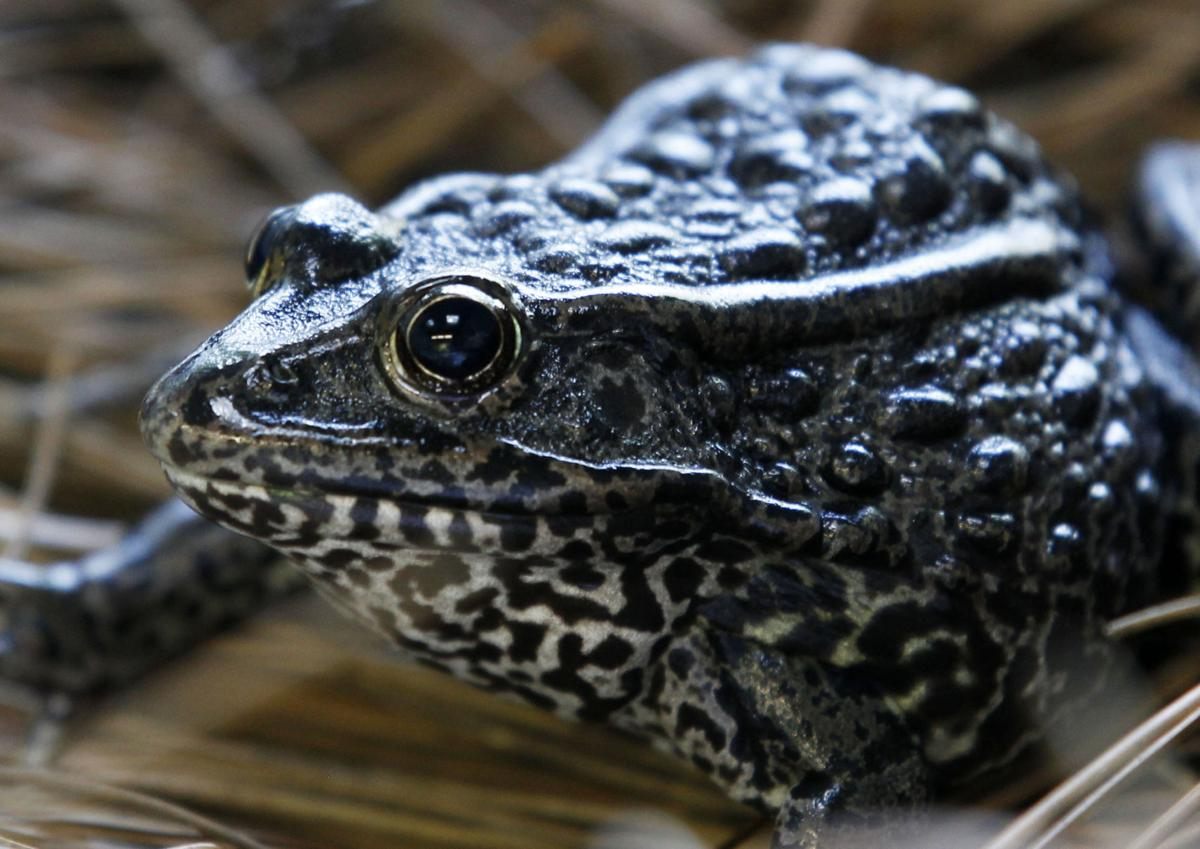 Endangered Gopher Frog