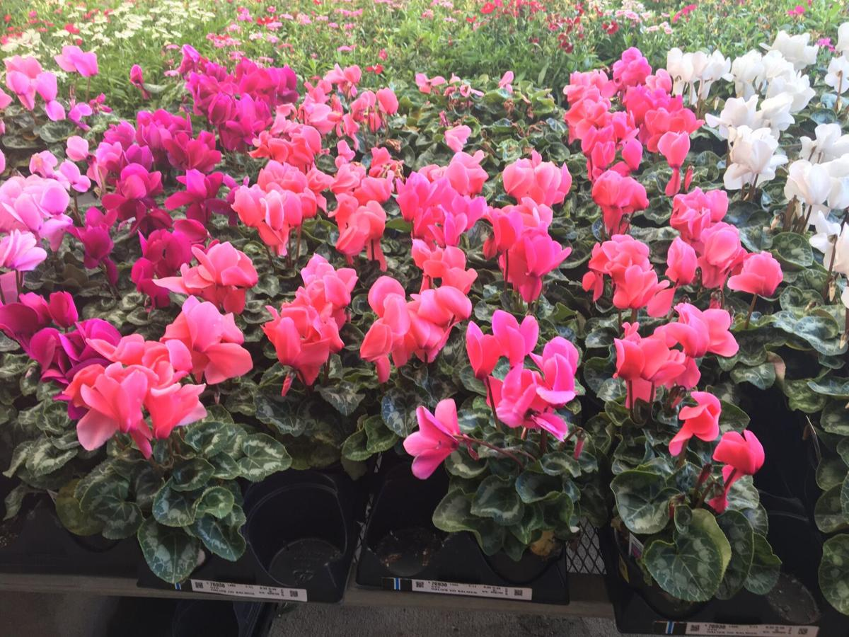 Cyclamen come in all the right colors, magenta, hot pink, s.JPG