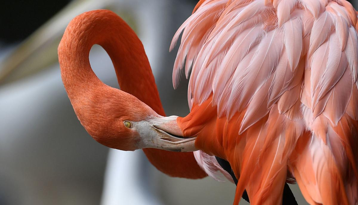Why do flamingos stand on one leg? It\'s no joke; it\'s science | News ...