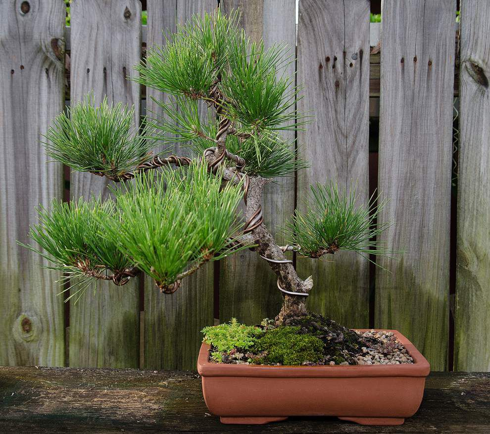 Bonsai Society set to auction off tiny, trained trees _lowres
