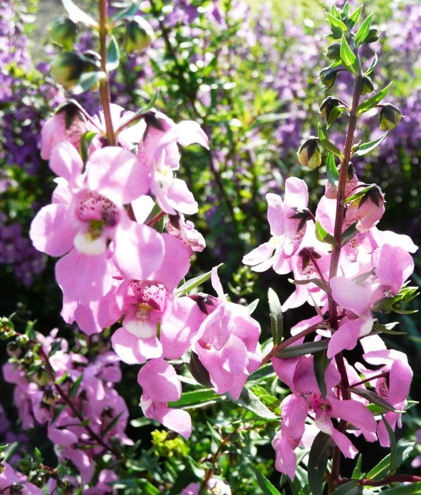 Garden News: A low-fuss flower that loves heat? Meet angelonias _lowres