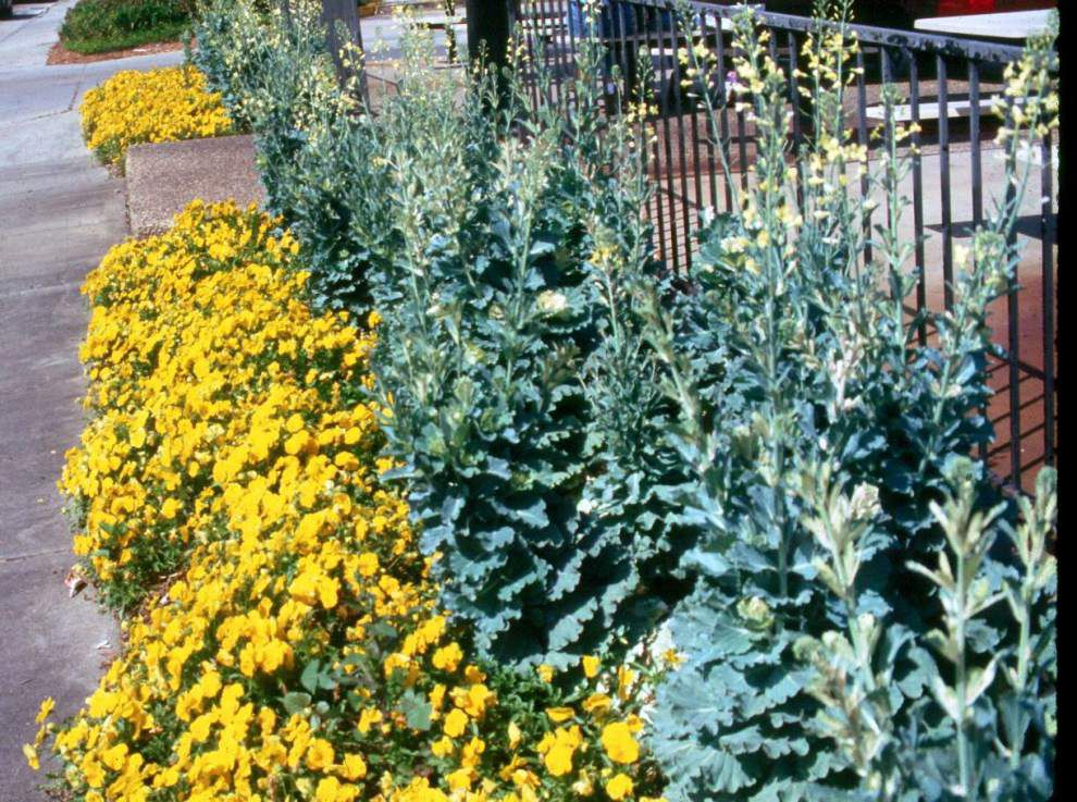 Garden News: Ornamental kale, cabbage add to winter landscape color _lowres