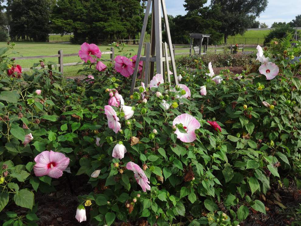 Garden News: Hardy hibiscus thrive in south La. _lowres