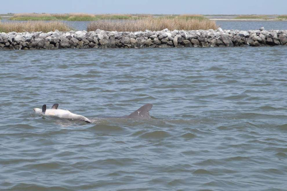 Stillborn, dead young dolphins along the Gulf Coast died in areas damaged by Deepwater Horizon disaster, study concludes _lowres