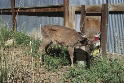 Deer infected with Chronic Wasting Disease