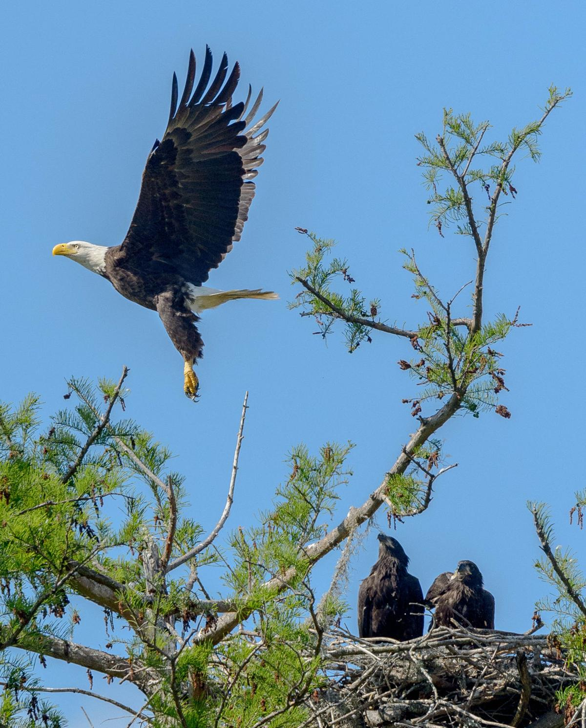 What Are The Predators Of Bald Eagles