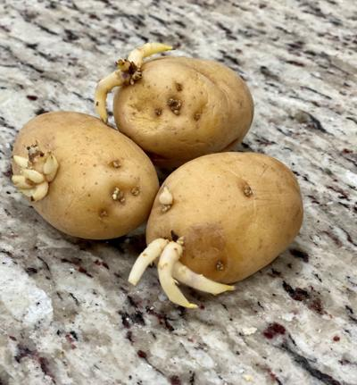 Cut potatoes and allow them to heal for 24-48 hours. Be su.jpg