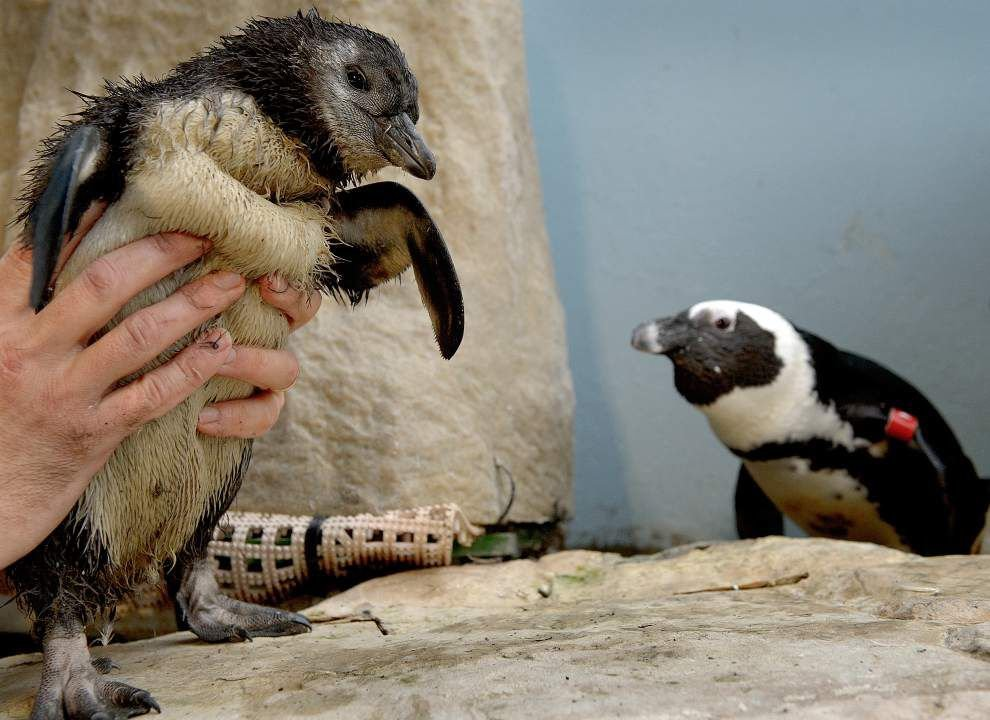 Video: New Orleans Audubon Aquarium welcomes new endangered penguin chick _lowres