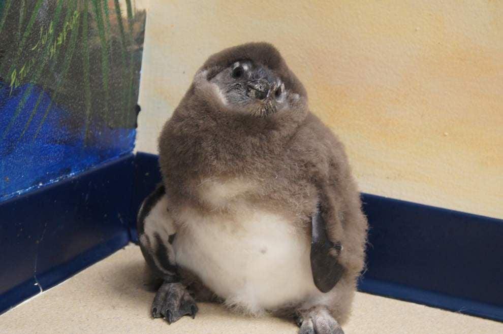 Video, photos: Endangered black-footed penguin chick 'Elmer' joins habitat at Audubon Aquarium _lowres