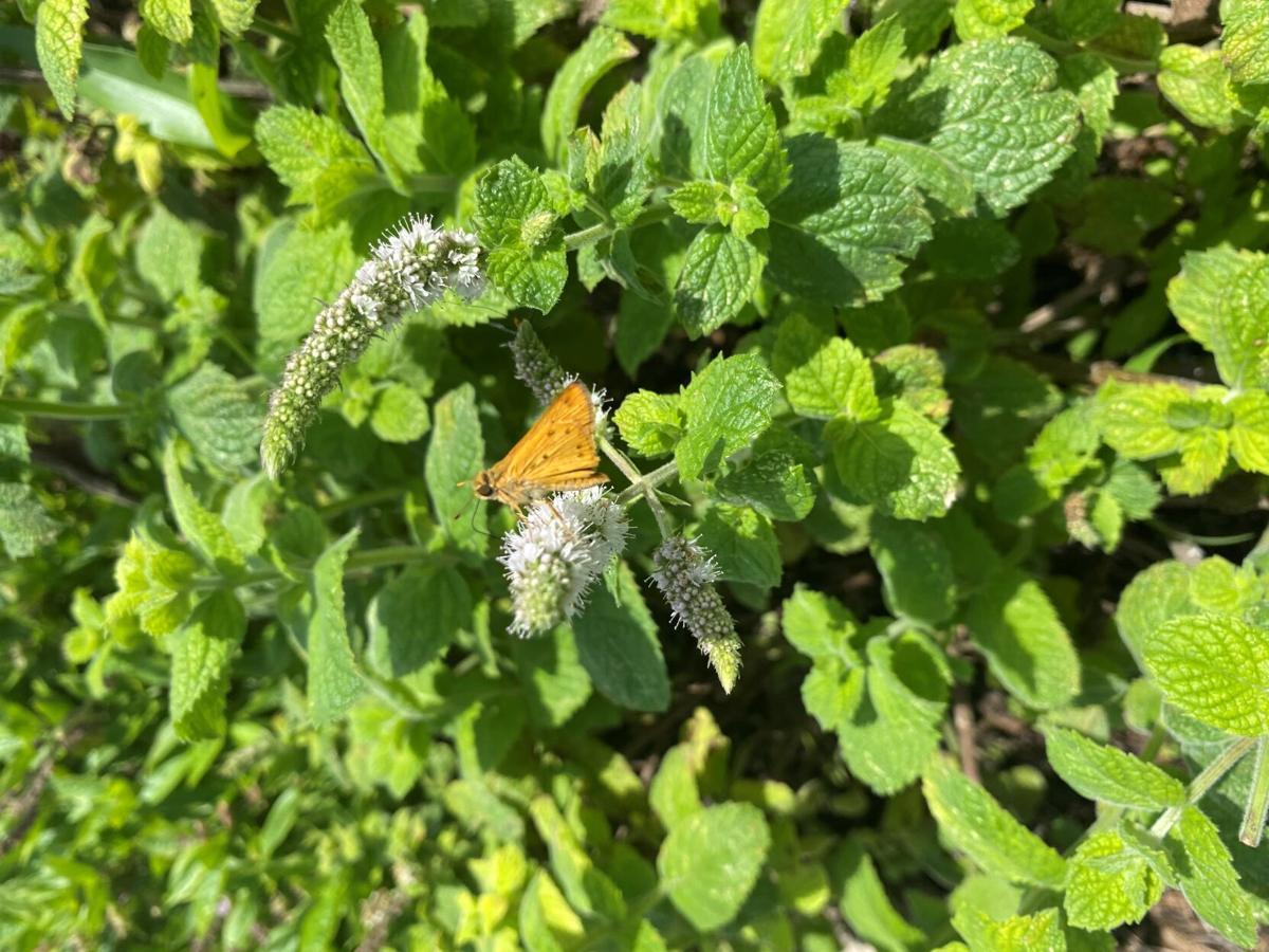 Butterfly on mint.jpg