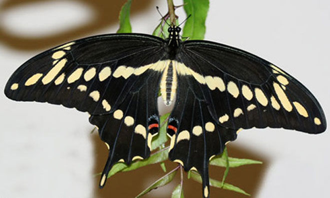 Giant_Swallowtail_Butterfly