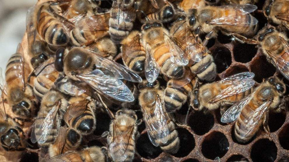 USDA spending $3M to feed honeybees in Midwest _lowres