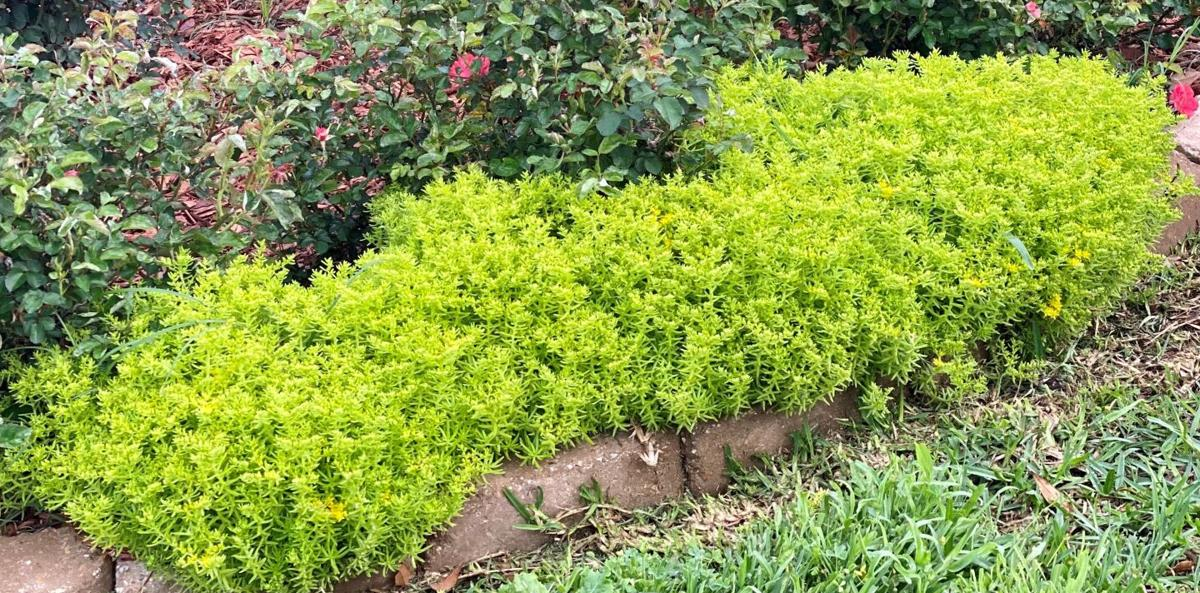 Lemon sedum makes an excellent border plant and ground cove.jpg