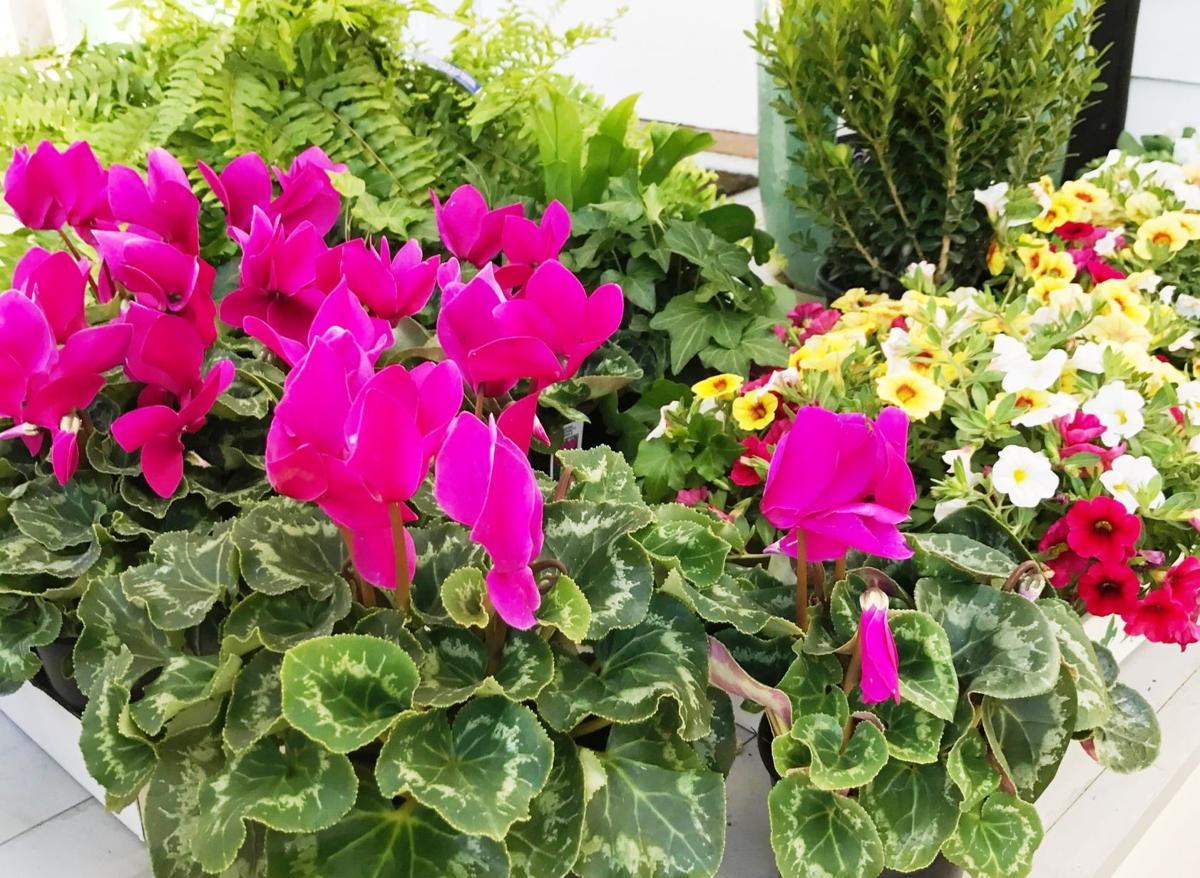 R. Stephanie Bruno: Holiday cyclamen thrive in outdoor gardens ...