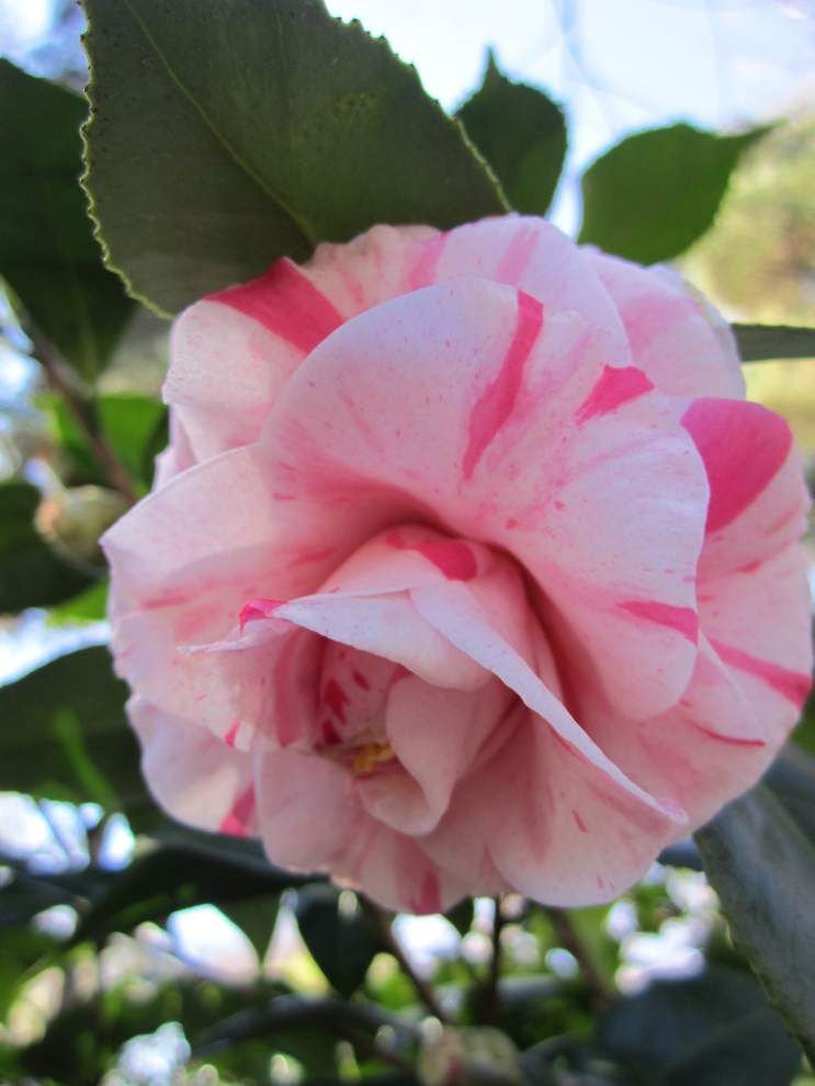 A blooming passion for camellias _lowres
