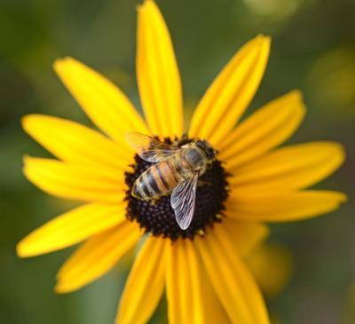 Bee for homegarden calendar