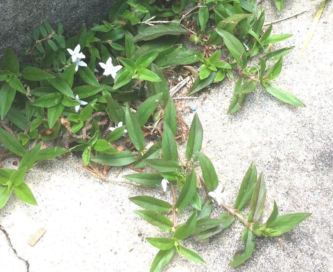 Garden News Oh That Darn Virginia Buttonweed Home