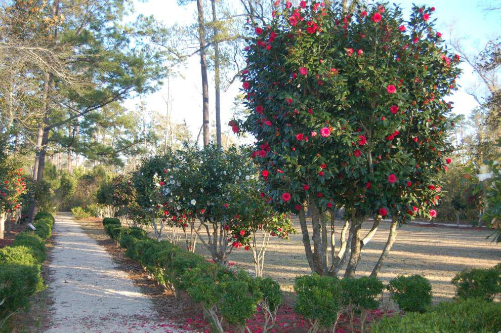 Camellias bloom at Lacombe site for open house _lowres