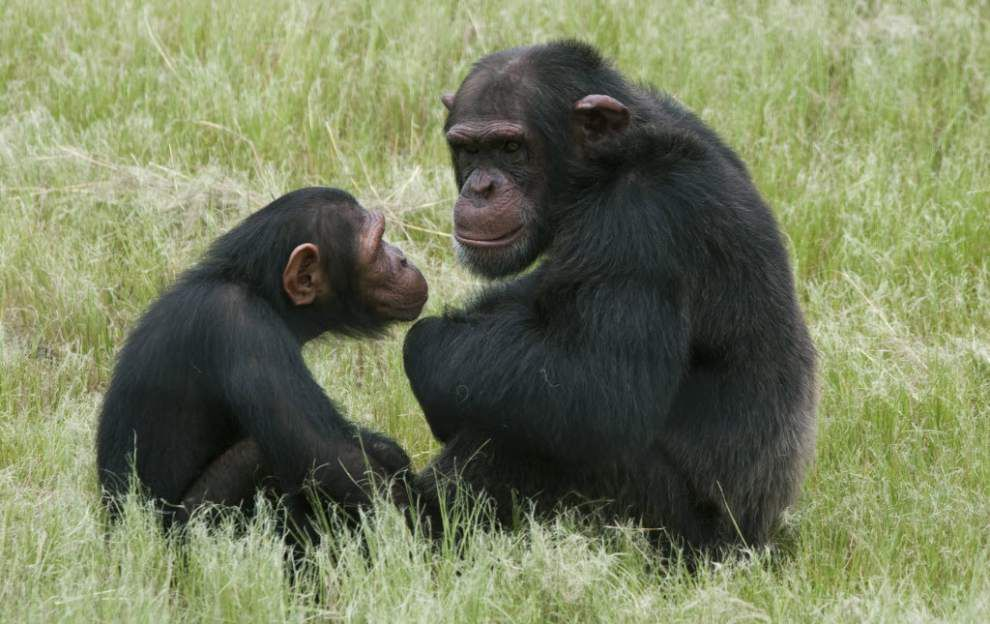 Study: Chimpanzees bond over shared meals _lowres