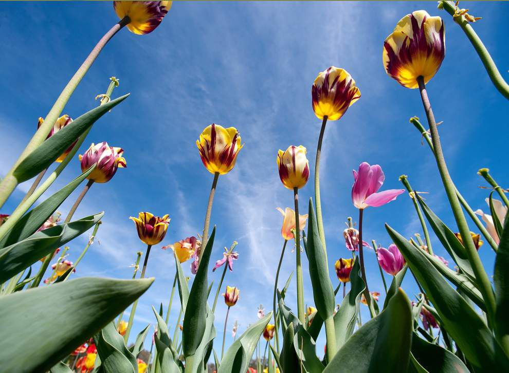 Photos: Is it spring yet in New Orleans? Check out these incredible flowers! _lowres