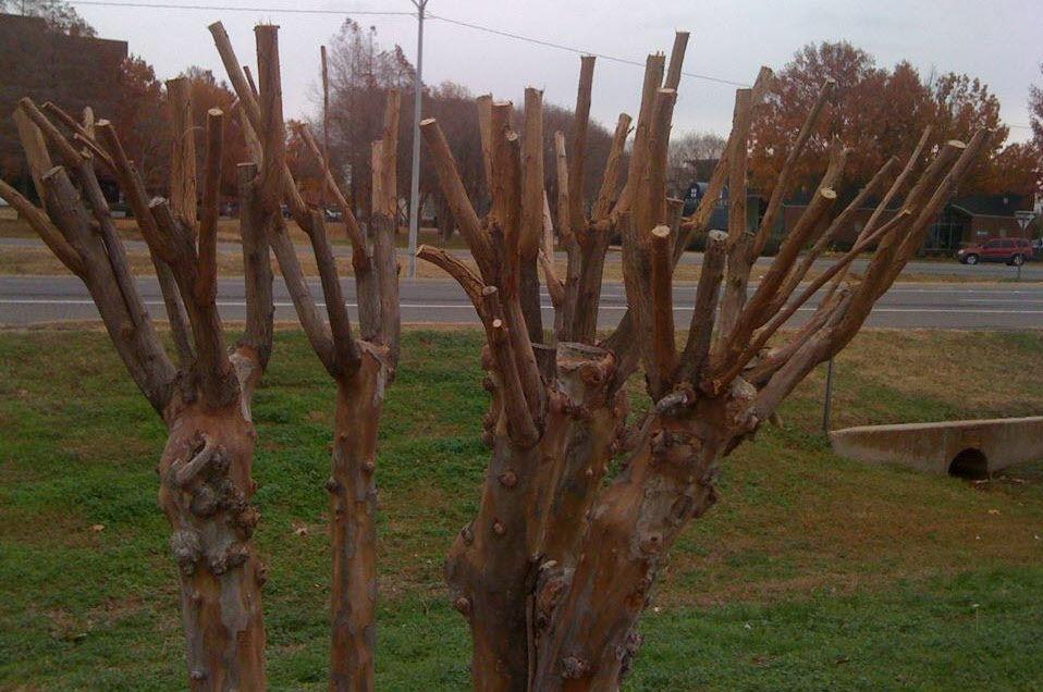 Crape Murder Method of Pruning Crape Myrtles.jpg