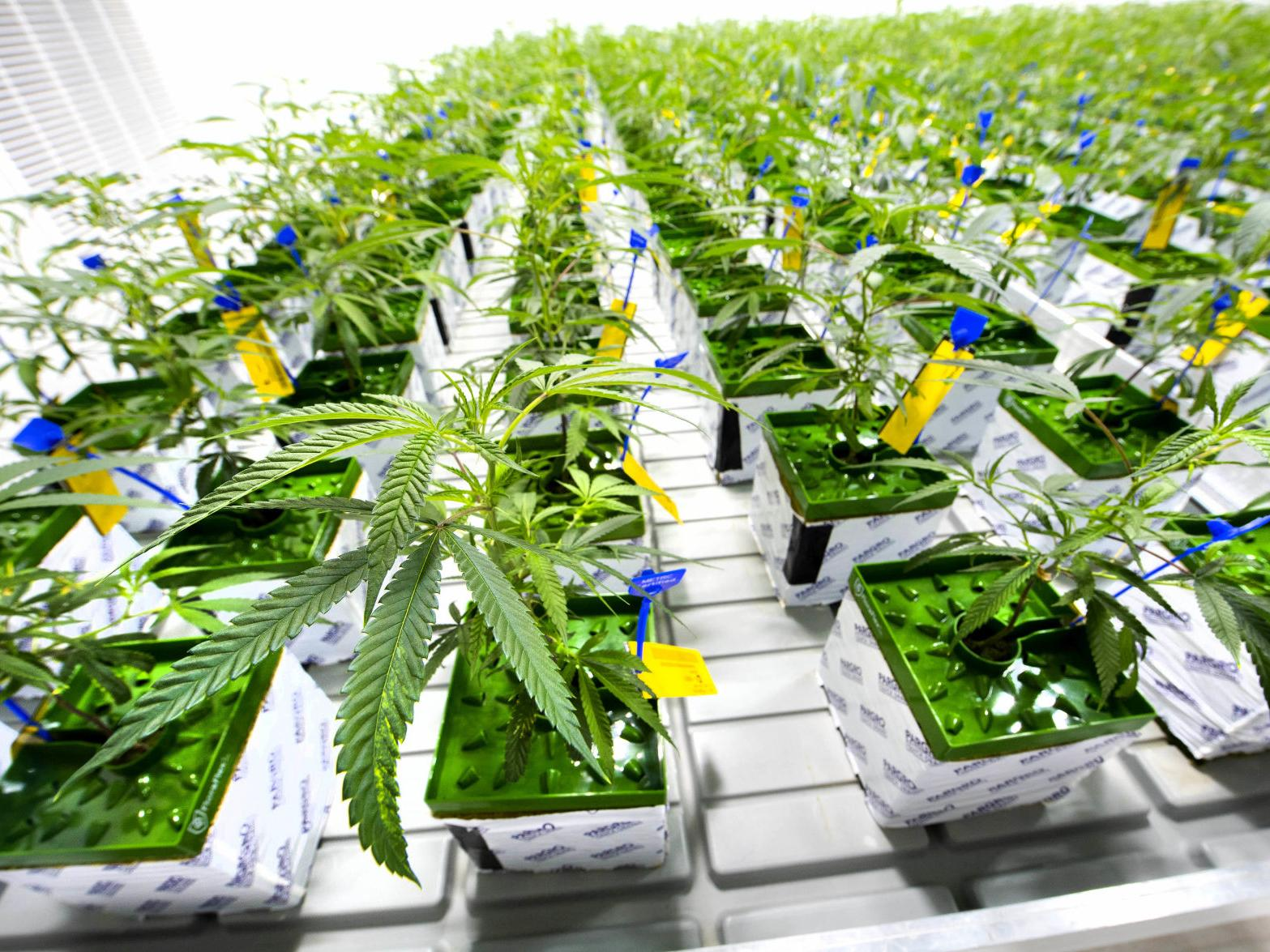 look inside the louisiana medical marijuana site harvesting 570 plants a  month; here's how it works | business | theadvocate.com  the advocate