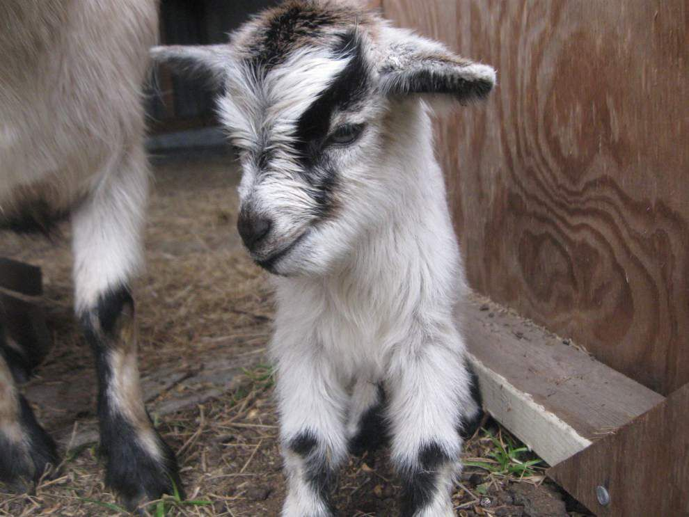Police, La. SPCA investigating beheaded goat in Algiers park _lowres