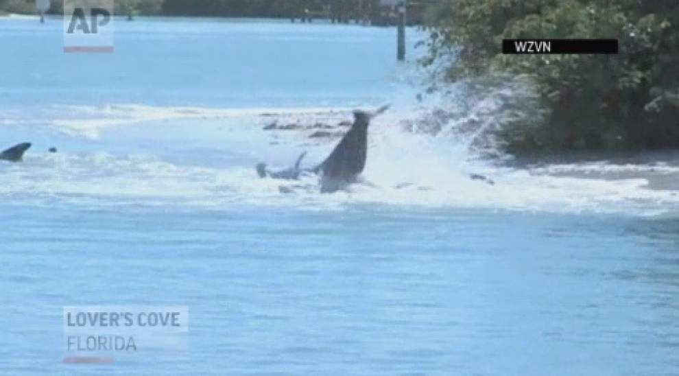 Dozens of whales stranded off southwestern Florida _lowres