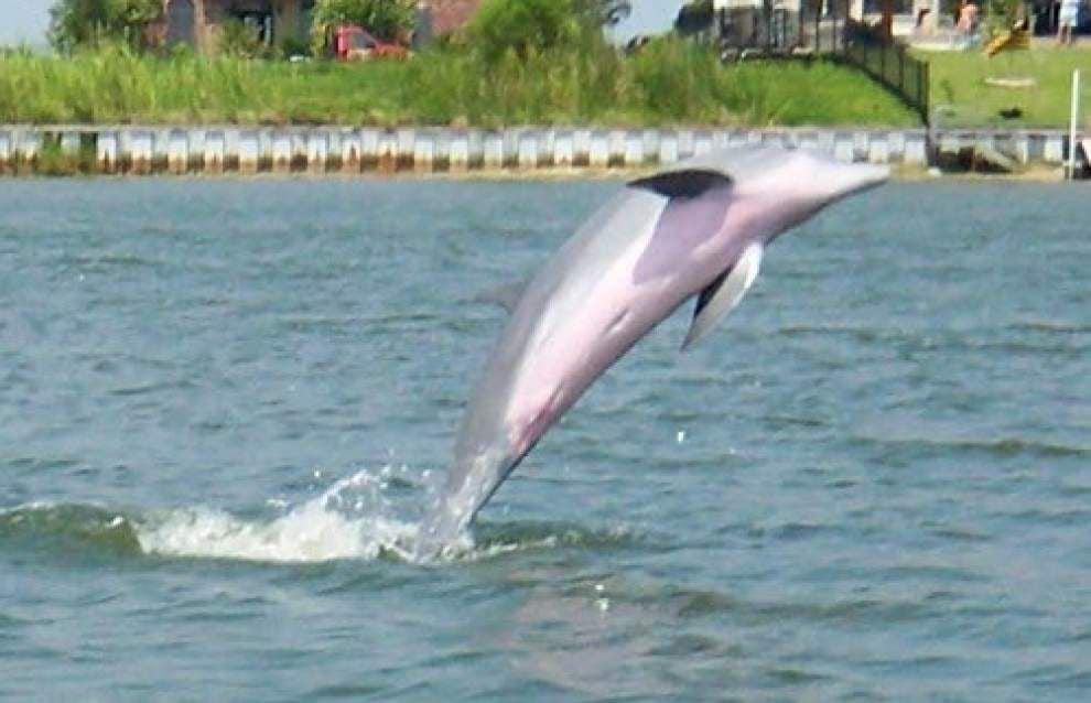 Slidell neighborhood dolphin dies _lowres