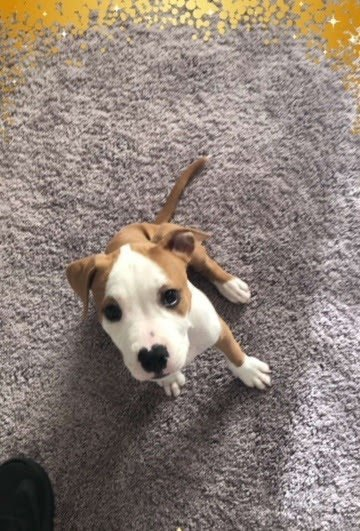 33ffb9c24d New Orleans police search for 9-week-old pit bull puppy stolen in ...