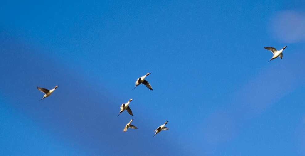 Wildlife and Fisheries announces dates for Louisiana waterfowl hunting season _lowres