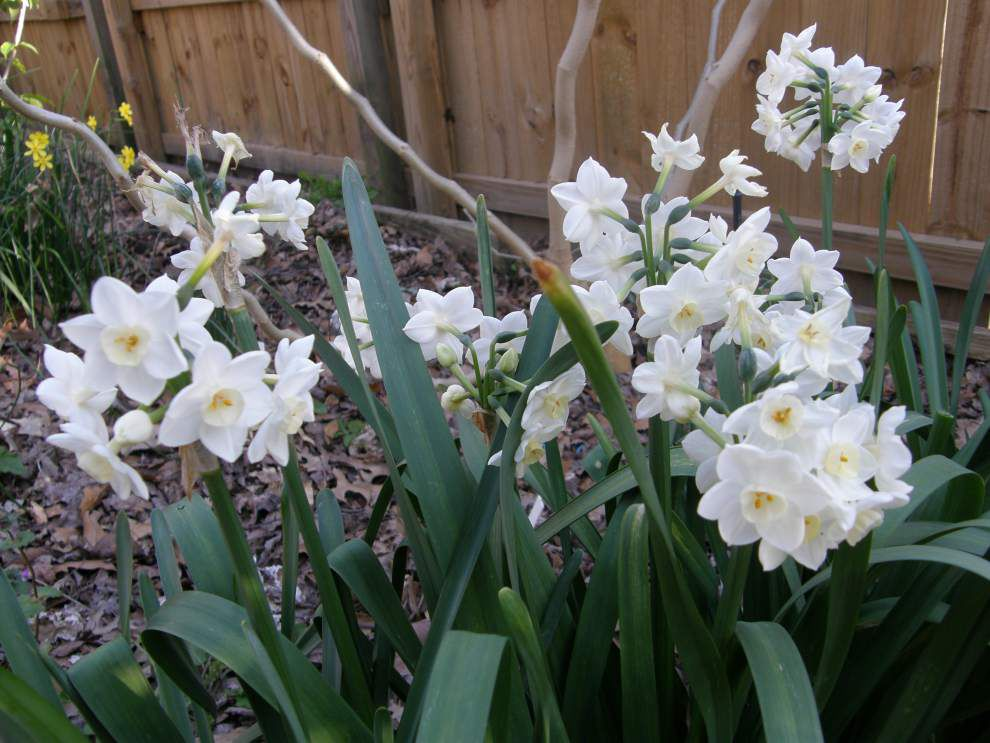 Garden News: November best spring bulb-planting month in La. _lowres